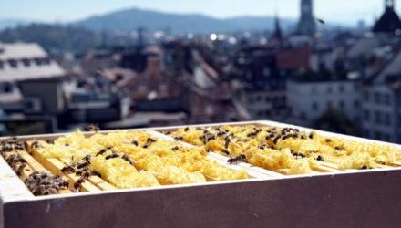Bienen auf dem Dachstock, Hotel Schweizerhof Bern